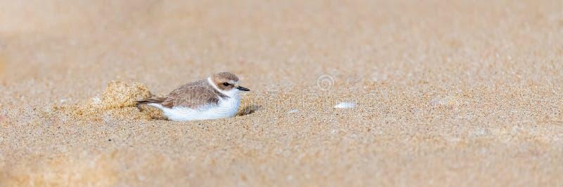 Calidris alba, Sanderling, bird. Sitting on the sand, sleeping in a hole royalty free stock photo