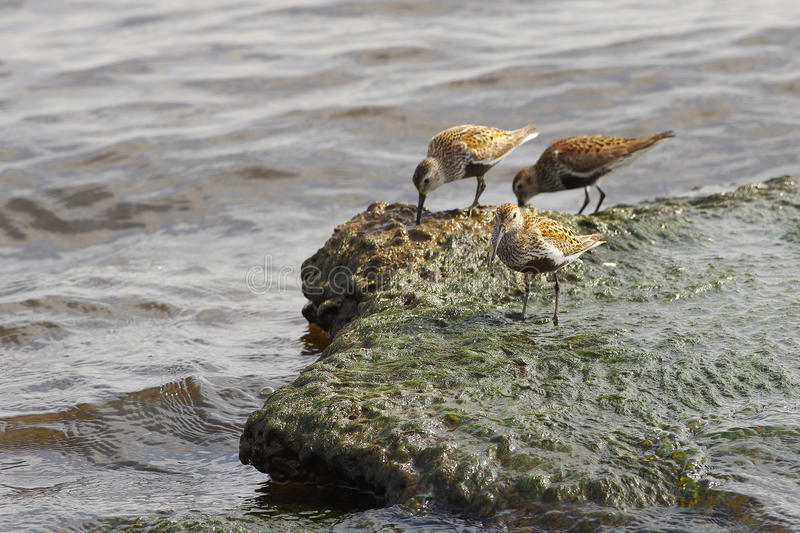 Calidris alpina Dunlin. Dongling on the beach. Stony shore, water and algae. Natural habitat stock photography