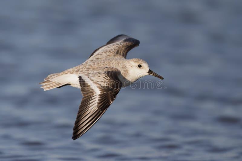 Calidris de alta velocidad del Sanderling alba en vuelo en la costa costa en la Florida fotos de archivo