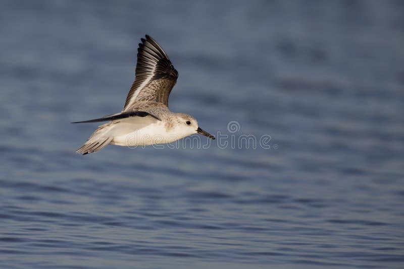 Calidris de alta velocidad del Sanderling alba en vuelo en la costa costa en la Florida imagenes de archivo