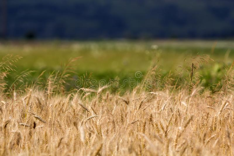 Caliente los oídos maduros amarillos de oro coloreados del trigo colocan en día de verano soleado en prado verde borroso suavidad fotografía de archivo