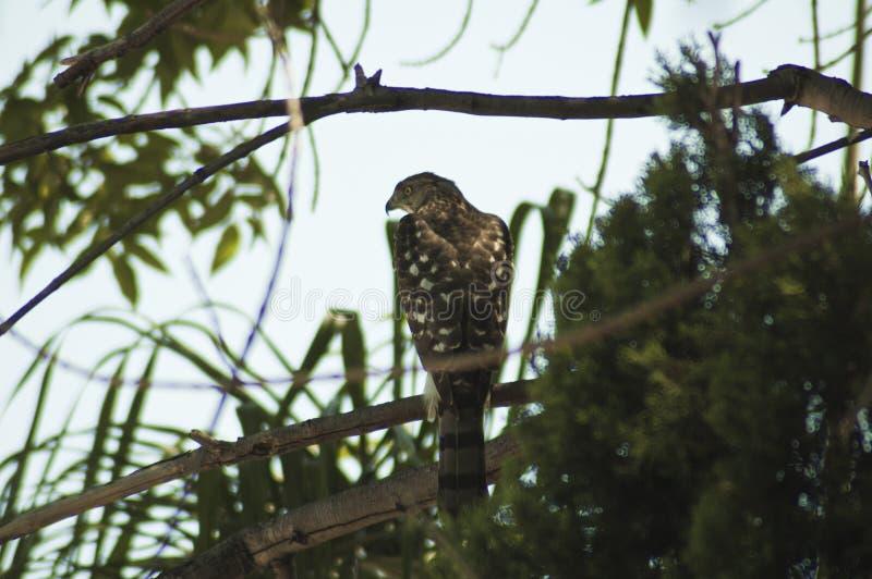 Califórnia do sul, os falcões do tanoeiro caça pássaros menores em voo ou da tampa da vegetação densa, confiando na surpresa foto de stock