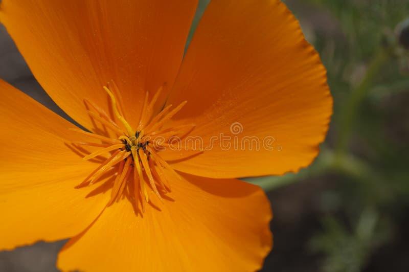 Califórnia Poppy Close-Up fotos de stock royalty free