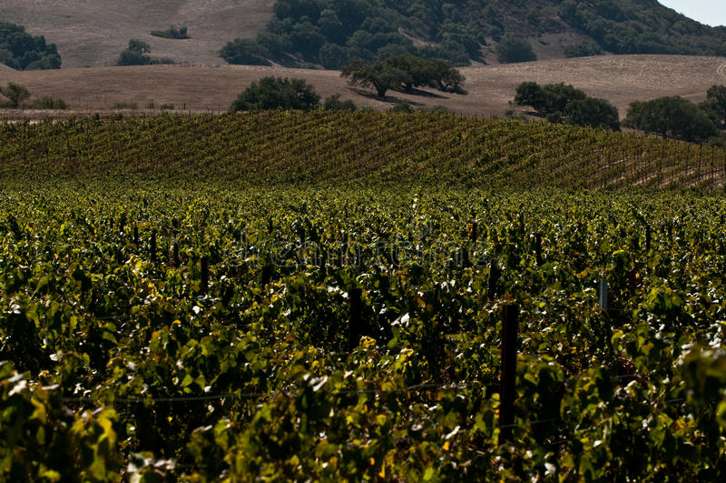 califonria葡萄园 库存照片