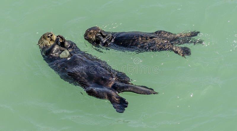 Californië op de manier aan Carmel, overzeese otters, royalty-vrije stock foto