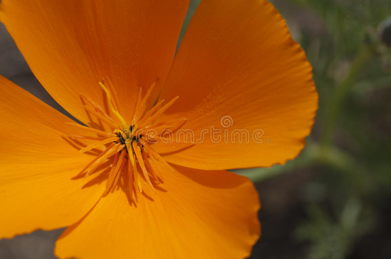 Californië Poppy Close-Up royalty-vrije stock foto's