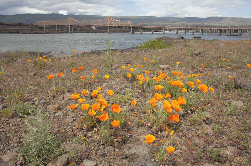 Californië Poppy Flowers door de Dalles-Brug royalty-vrije stock foto's