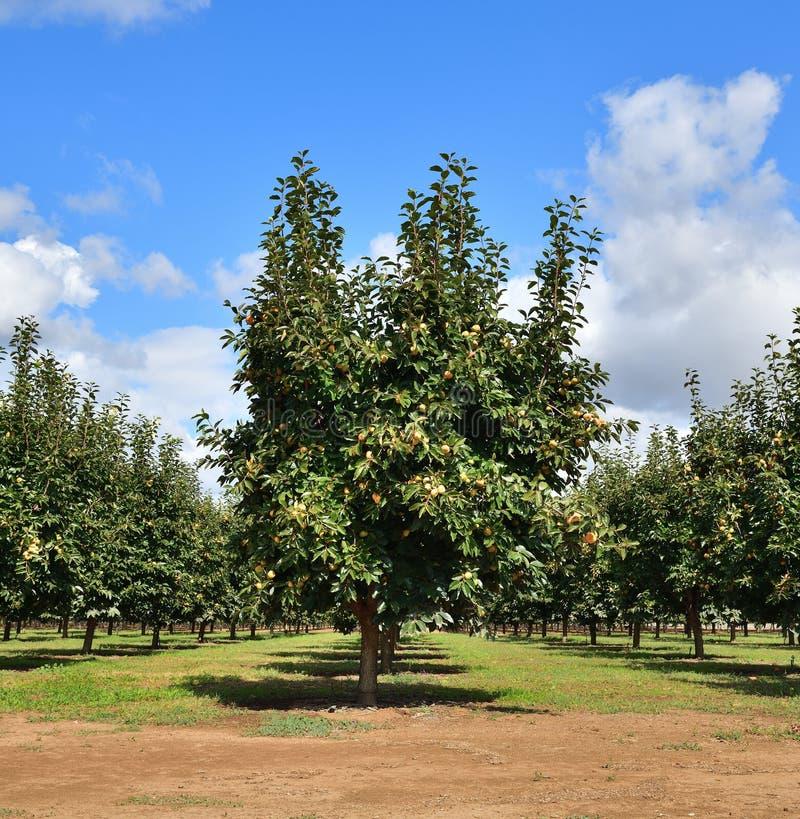 California: Árbol de Persimmon en Orchard, Valle Central fotografía de archivo libre de regalías