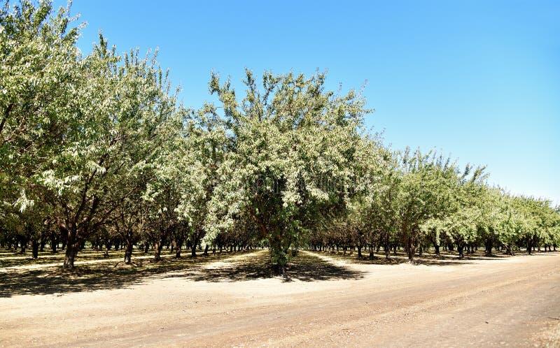 California: Almond Grove nella Central Valley fotografia stock libera da diritti