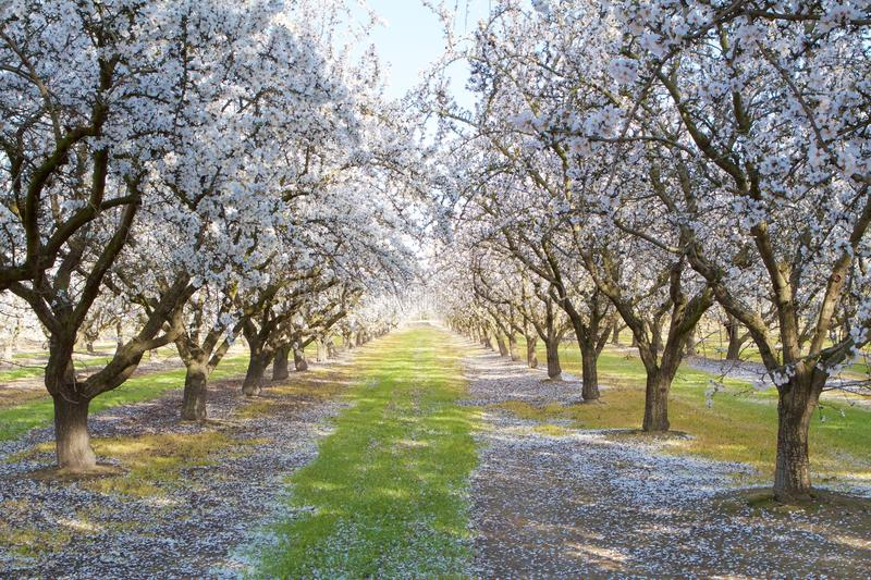 Blooming Almond Trees. California Almond trees in bloom royalty free stock image