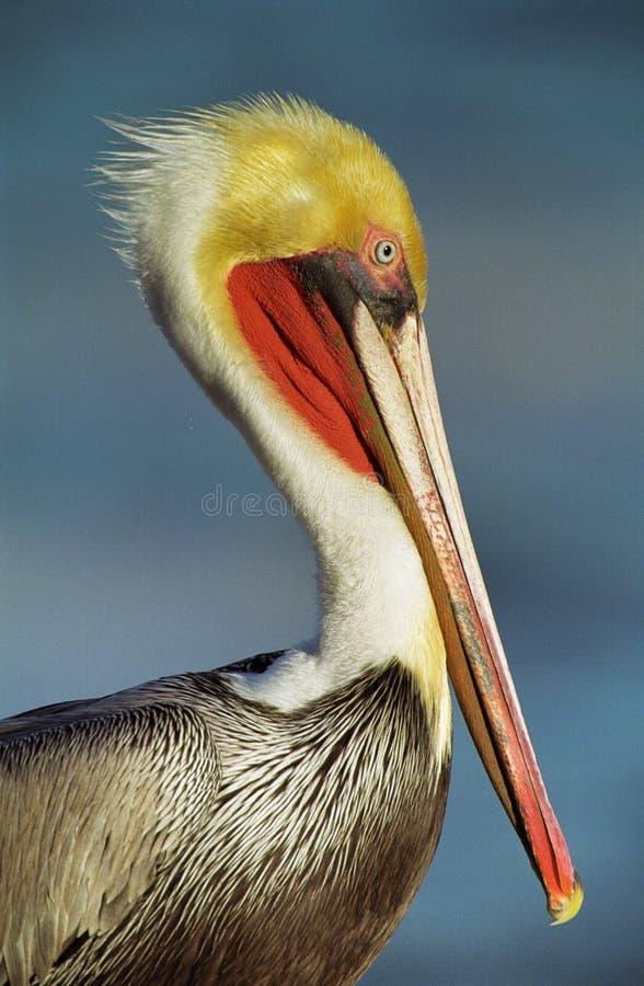 California Brown Pelican stock images