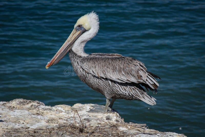 California brown pelican royalty free stock image