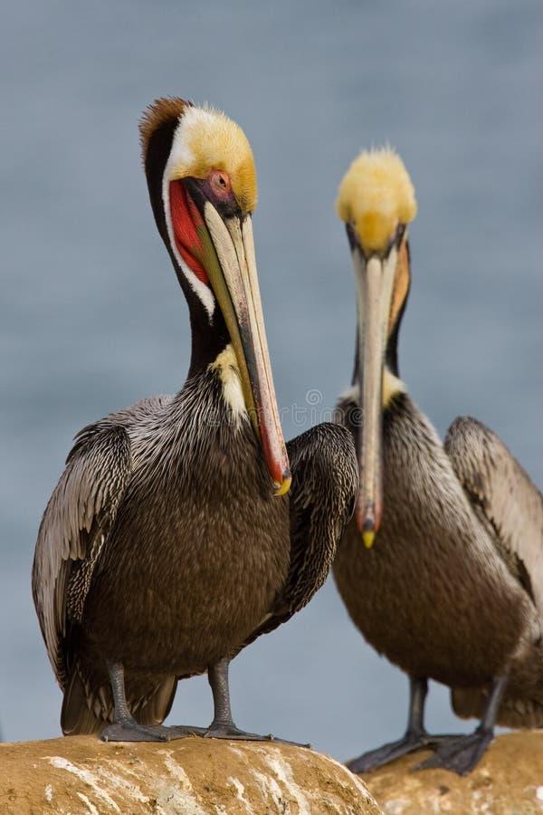 California Brown Pelican Pair royalty free stock photos