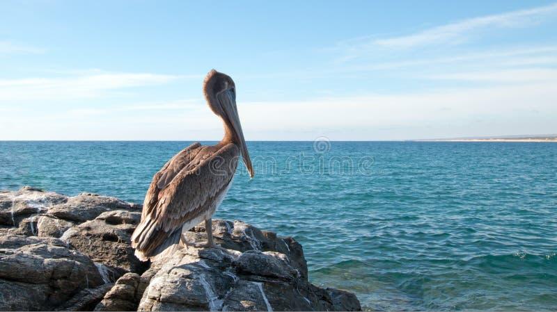 California Brown Pelican perching on rocky outcrop at Cerritos Beach at Punta Lobos in Baja California Mexico. BCS royalty free stock photo