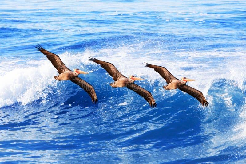 California Brown Pelicans In Flight ~ Pelecanus Stock Image