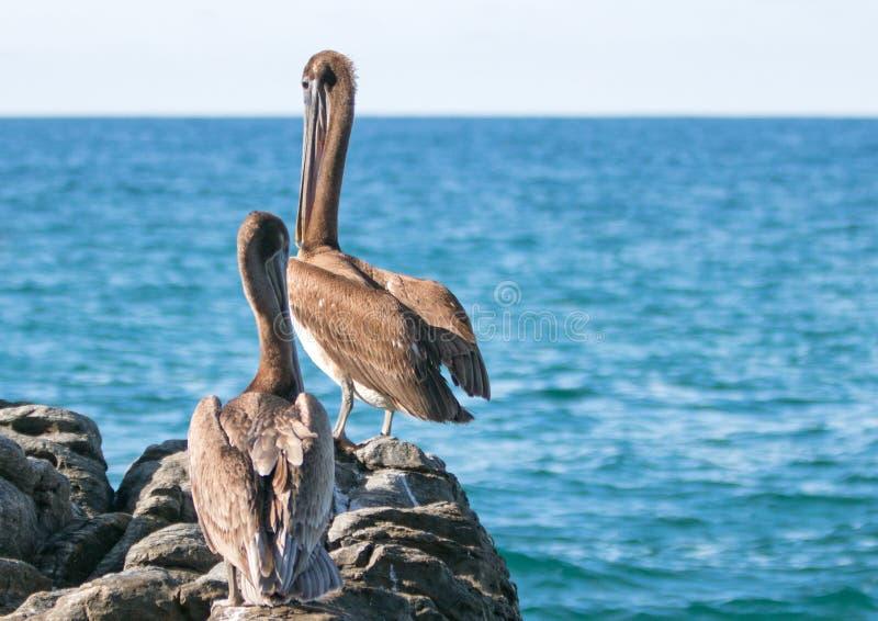 California Brown Pelicans perching overlooking horizon on rocky outcrop at Cerritos Beach at Punta Lobos in Baja California Mexico. California Brown Pelicans stock images