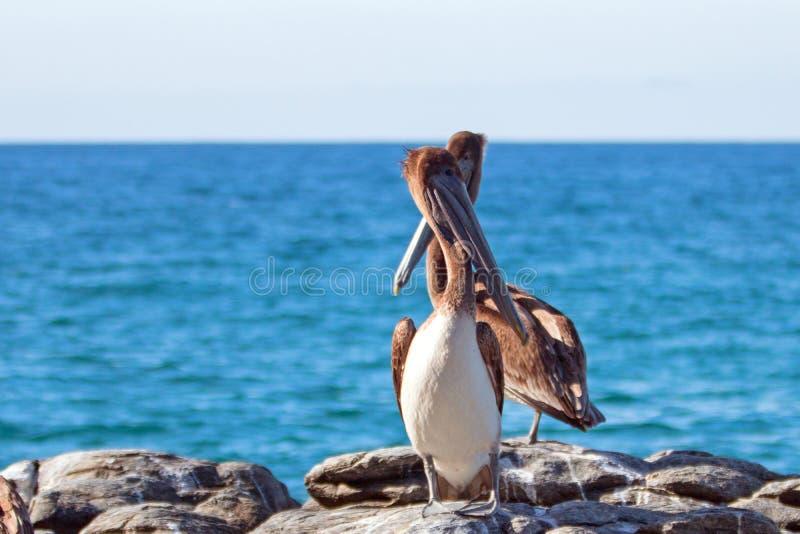 California Brown Pelicans perching on rocky outcrop at Cerritos Beach at Punta Lobos in Baja California Mexico. BCS royalty free stock images