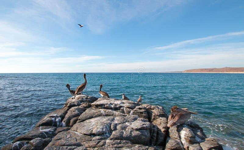 California Brown Pelicans perching on rocky outcrop at Cerritos Beach at Punta Lobos in Baja California Mexico. BCS royalty free stock photo