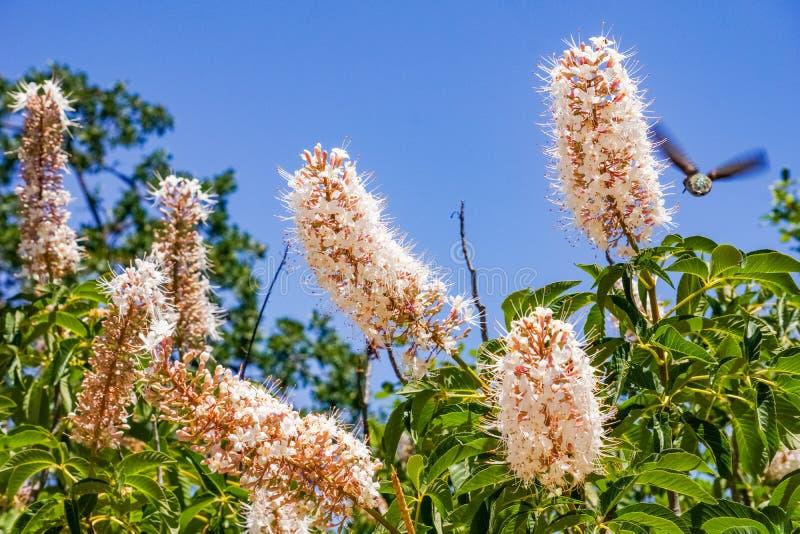 California buckeye flowers Aesculus californica royalty free stock photos