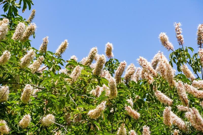 California buckeye flowers Aesculus californica stock photo
