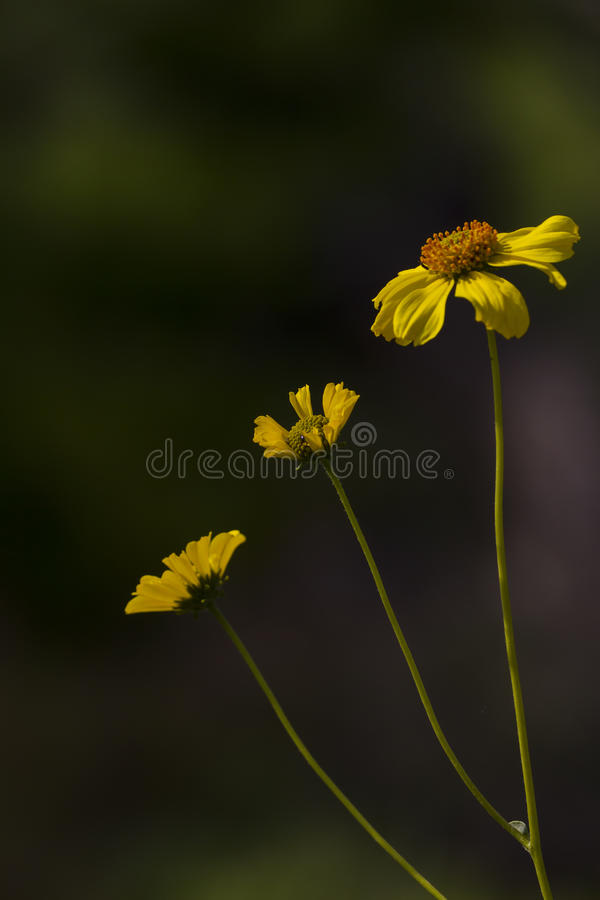 California Bush Sunflower. This is a close-up shot of the California Bush Sunflower stock photography
