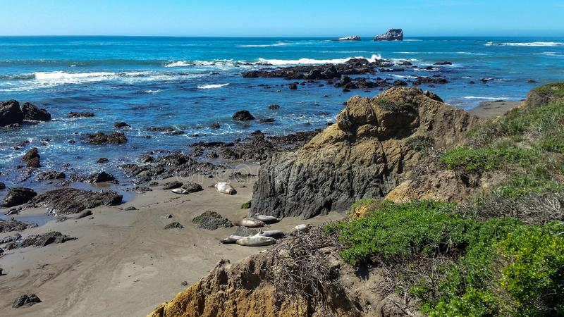 California Coast Seals napping in the sand royalty free stock photo