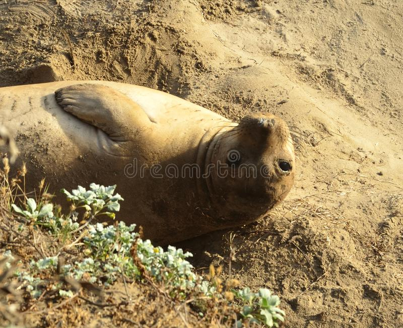 California Elephant Seal. Chilling in the sand at Ano Nuevo State Park in California stock photography
