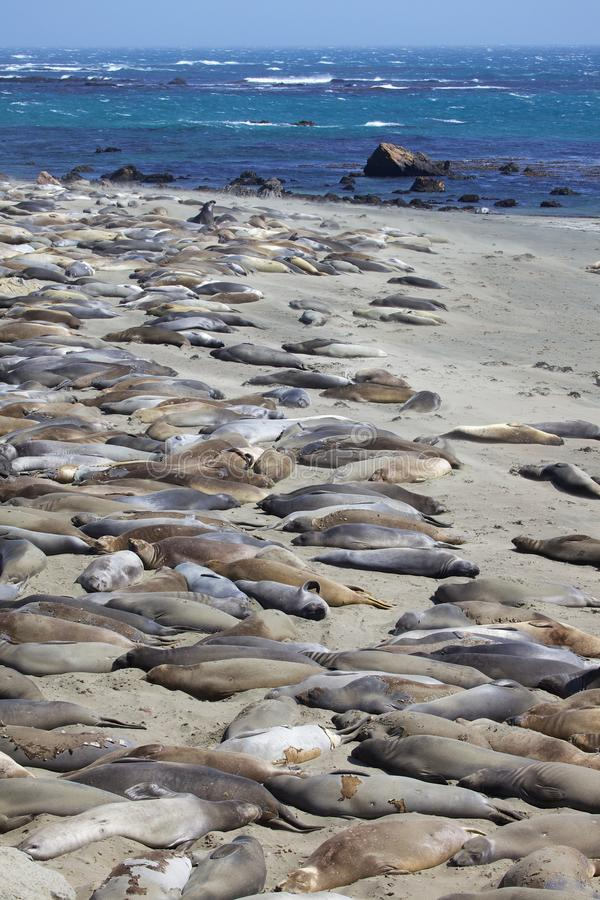 Download California Elephant Seals stock image. Image of nature - 25296847
