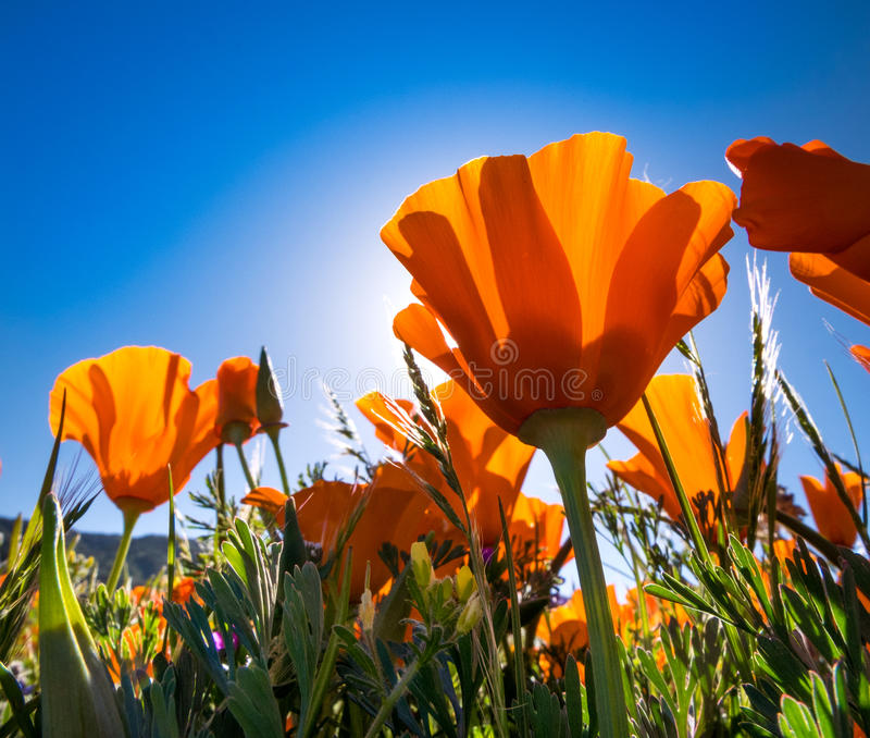 California Golden Poppies against a blue sky stock photos