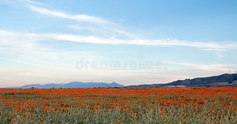 CALIFORNIA GOLDEN POPPIES IN HIGH DESERT FIELD BETWEEN PALMDALE LANCASTER AND QUARTZ HILL IN SOUTHERN CALIFORNIA USA. CALIFORNIA GOLDEN POPPIES IN HIGH DESERT stock image