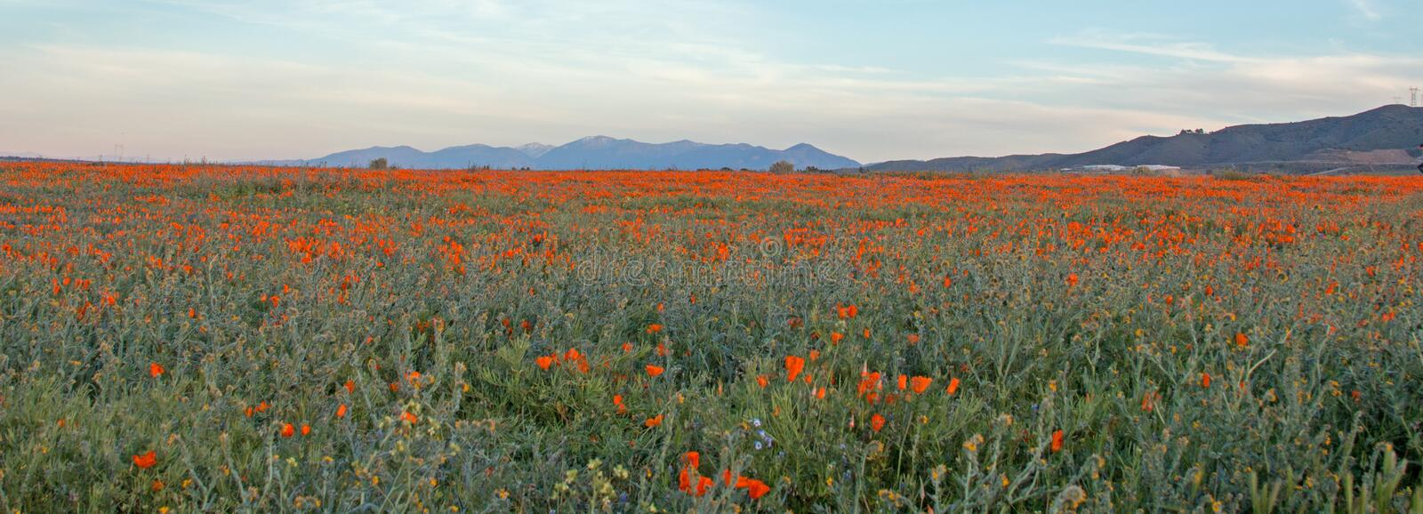 CALIFORNIA GOLDEN POPPIES IN HIGH DESERT FIELD BETWEEN PALMDALE LANCASTER AND QUARTZ HILL IN SOUTHERN CALIFORNIA USA. CALIFORNIA GOLDEN POPPIES IN HIGH DESERT stock photo