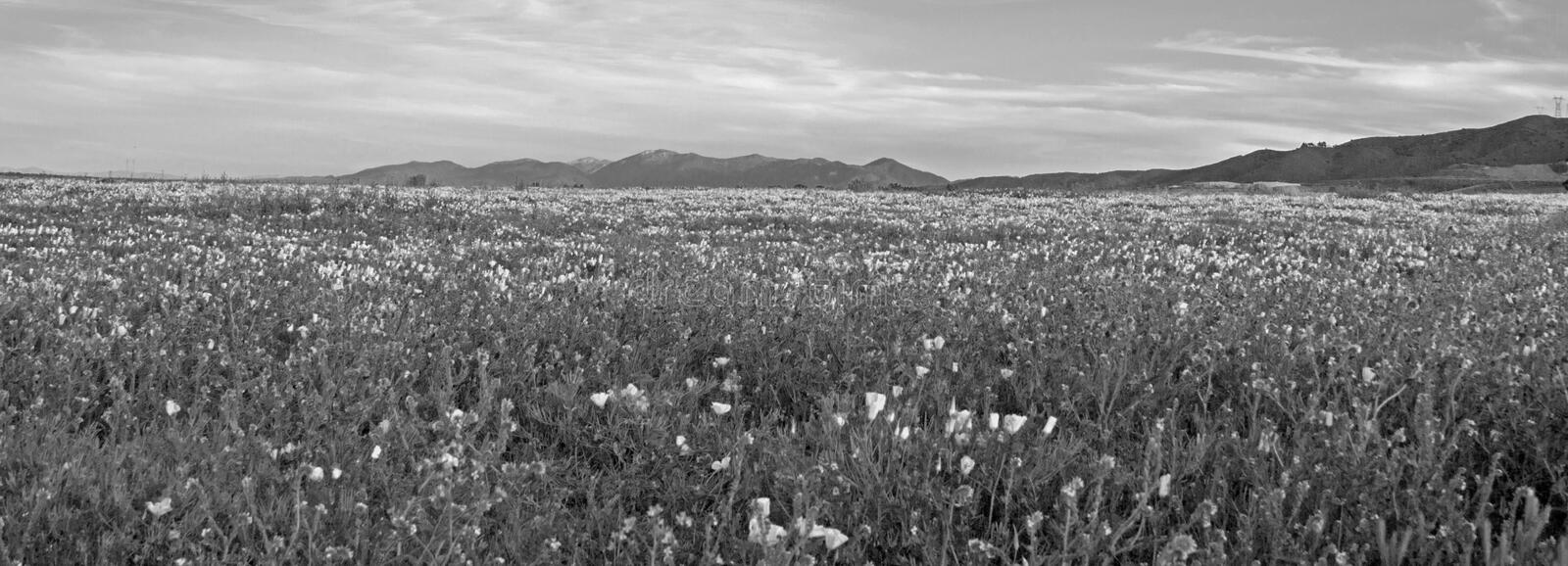 CALIFORNIA GOLDEN POPPIES IN HIGH DESERT FIELD BETWEEN PALMDALE AND QUARTZ HILL IN SOUTHERN CALIFORNIA USA - BLACK AND WHITE. CALIFORNIA GOLDEN POPPIES IN HIGH stock image