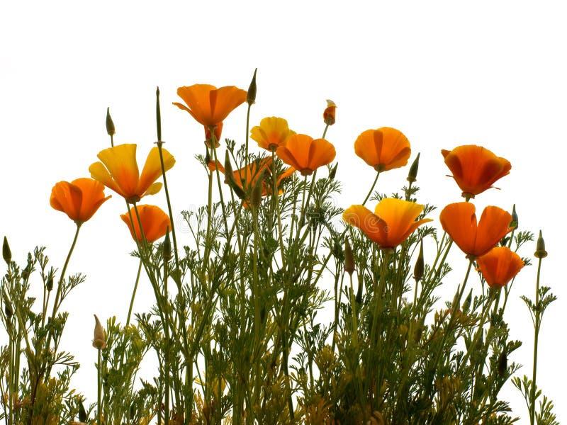 California golden poppy. Isolated on wihite background stock images