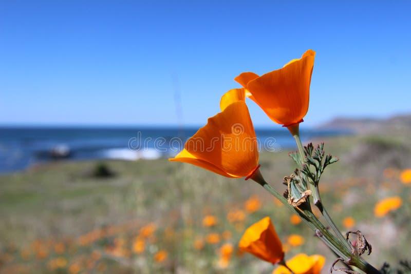 California golden poppy, Big Sur, California, USA royalty free stock image