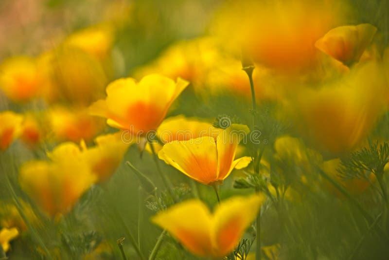 California golden poppy flowers royalty free stock photos