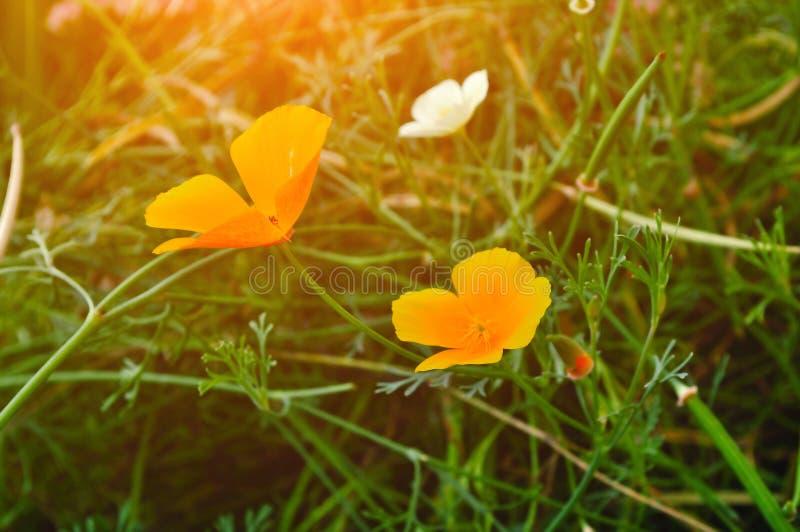 California golden poppy flowers - in Latin Eschscholzia californica - under sunlight. Summer floral landscape royalty free stock photography