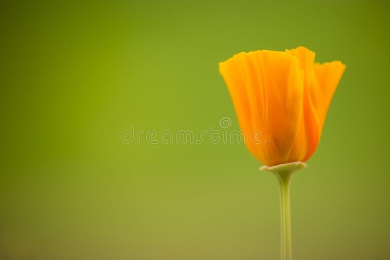 California golden poppy flowers stock images