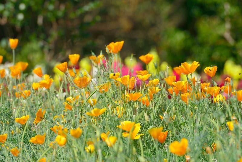 California Golden Poppy flowers royalty free stock images