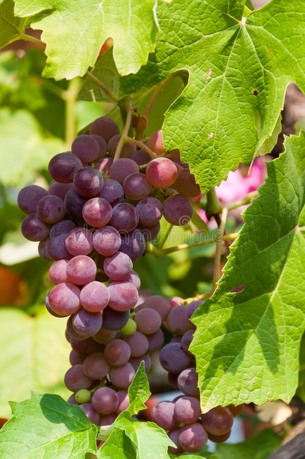 CALIFORNIA GRAPES. Purple wine grapes during harvest season in a vineyard royalty free stock images