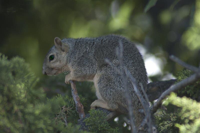 California GraySquirrel mira en una rama en árbol de pino imperecedero fotografía de archivo