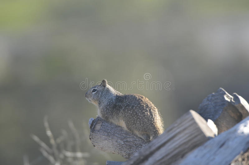 California ground squirrel Otospermophilus beecheyi Close Up stock image