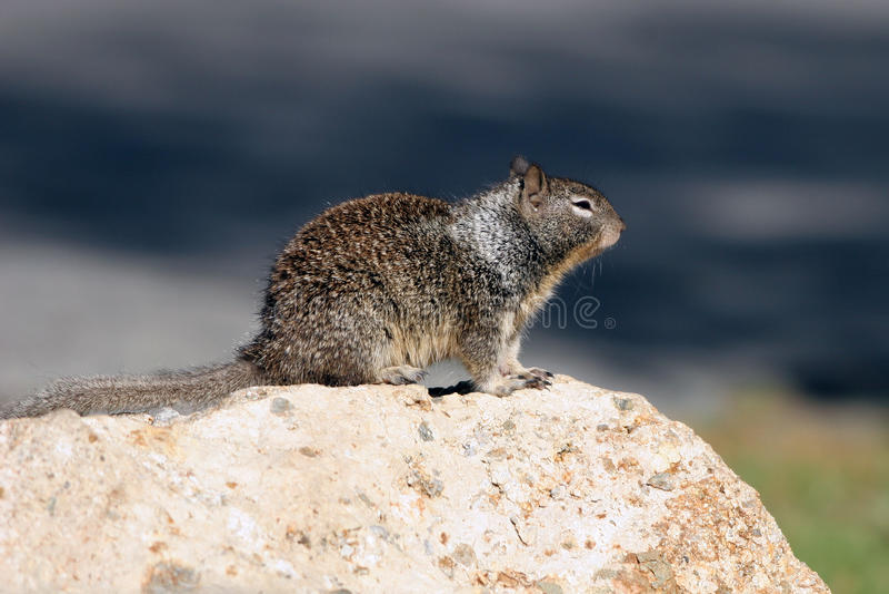 California Ground Squirrel, Spermophilus beecheyi stock photos