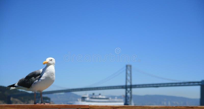 California gull. Standing on a hand-rail. San Francisco, California royalty free stock photography