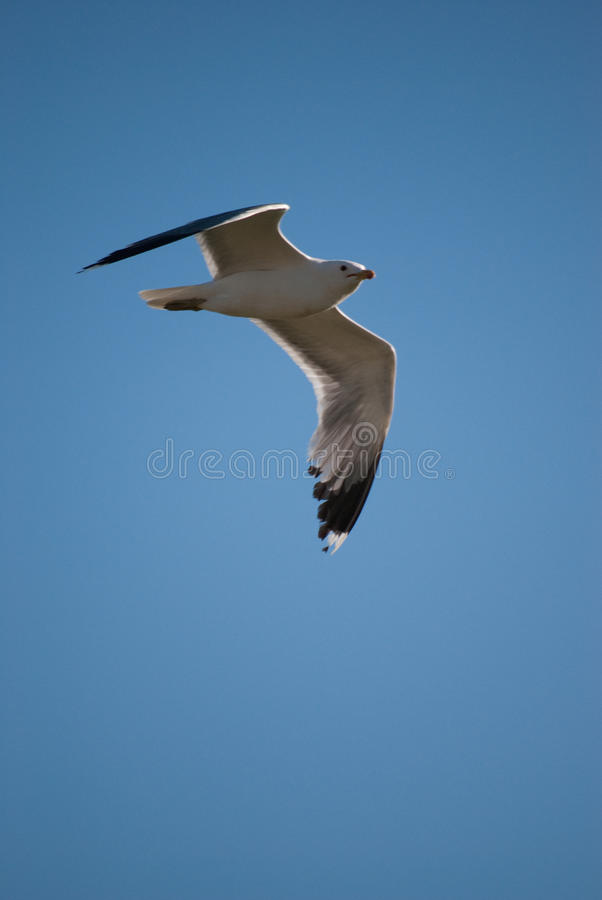 Download California Gull stock image. Image of california, animal - 9898925
