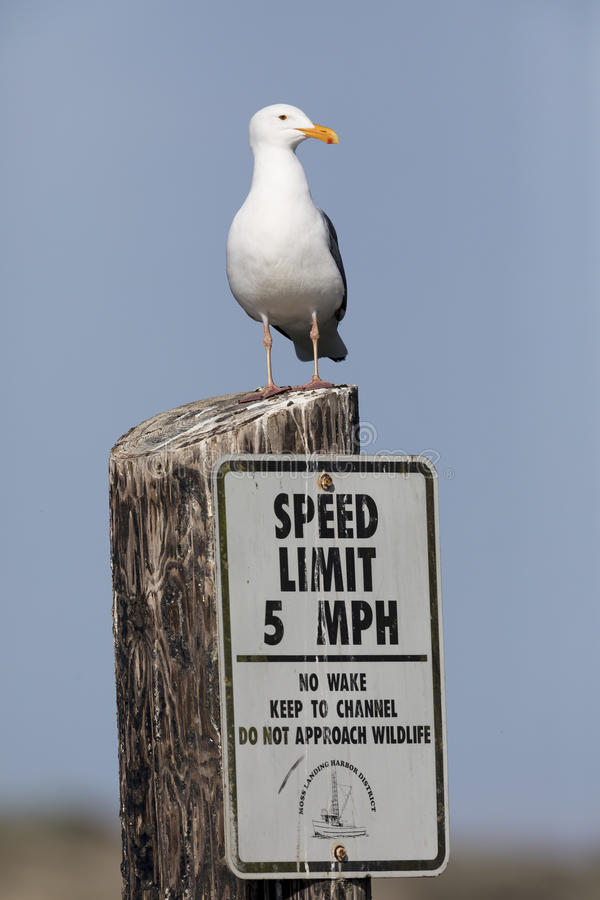 Free California Gull Perched On A Speed Limit Sign In Monterey Stock Photos - 90404683