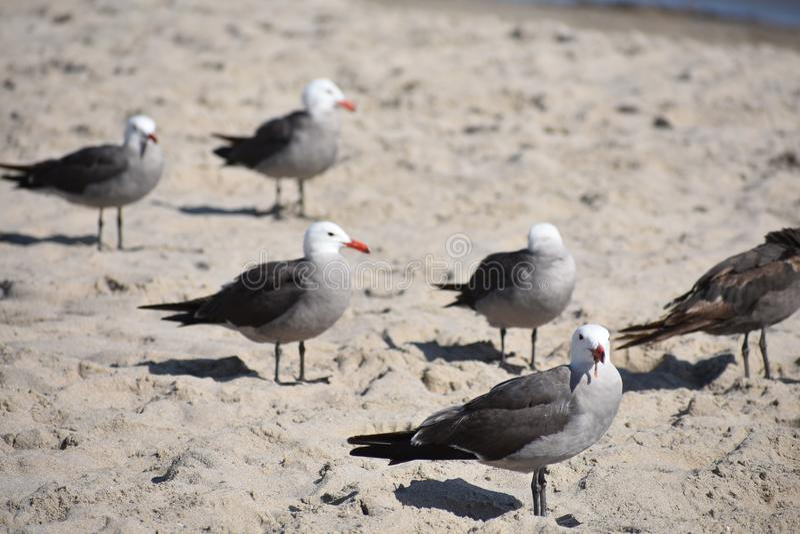 California gulls hacer la cosa de California en la playa imagen de archivo