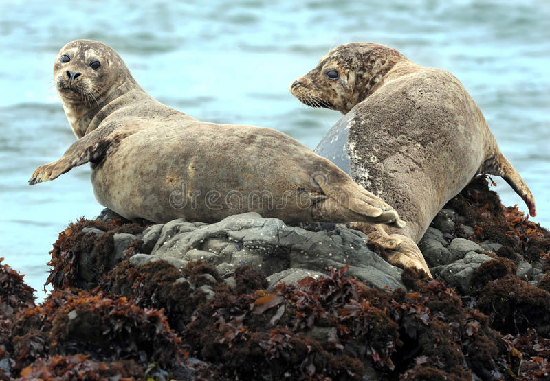 California harbor seal on rock,big sur, california. California harbor seals laying on rock, big sur, california stock image