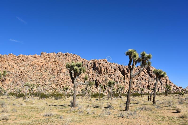 California Joshua Trees nel parco nazionale fotografia stock libera da diritti