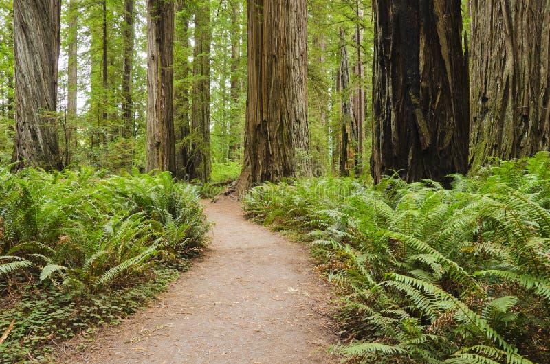 california lasu redwood zdjęcia royalty free