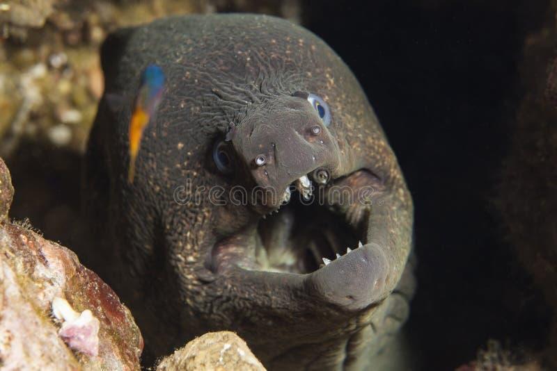 California Moray Eel royalty free stock photo